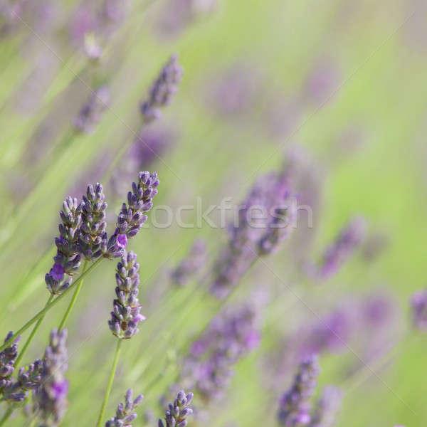 Flowering lavender Stock photo © All32