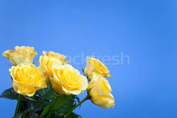 Mooie Geel rozen Blauw hemel voorjaar Stockfoto © All32