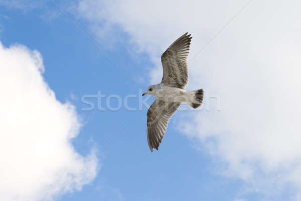 Flying seagull on the sky background Stock photo © All32