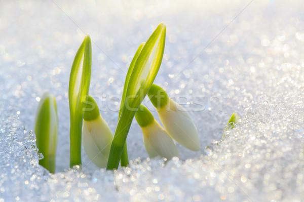 первый цветок лист снега зеленый голову Сток-фото © All32