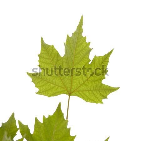 カエデの葉 秋 白 パターン 秋 美しい ストックフォト © All32