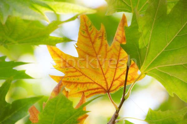первый осень Maple Leaf зеленые листья природы лист Сток-фото © All32