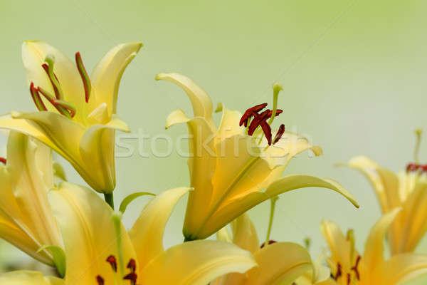 Belle jaune Lily fleur nature beauté Photo stock © All32