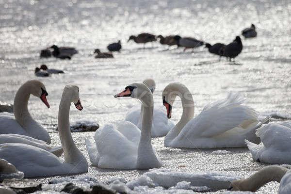 Branco flutuante água família natureza mar Foto stock © All32