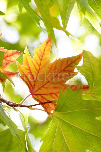 осень Maple Leaf первый зеленые листья дерево лес Сток-фото © All32
