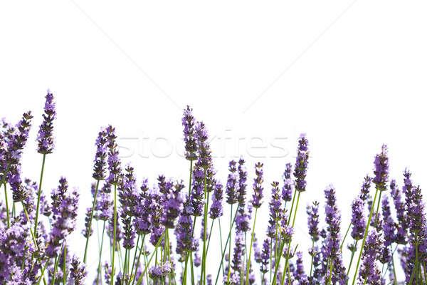 Pourpre lavande fleurs isolé blanche fleur Photo stock © All32