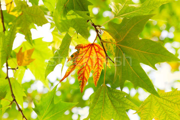 The first autumn maple leaf Stock photo © All32
