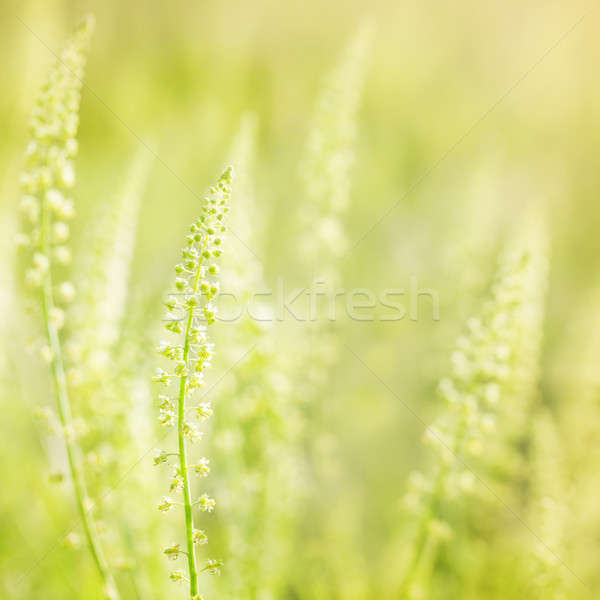 Kır çiçekleri güneş yumuşak bulanık yaz yeşil Stok fotoğraf © All32