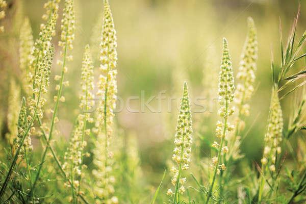 Vad virágok napsütés puha elmosódott nyár zöld Stock fotó © All32