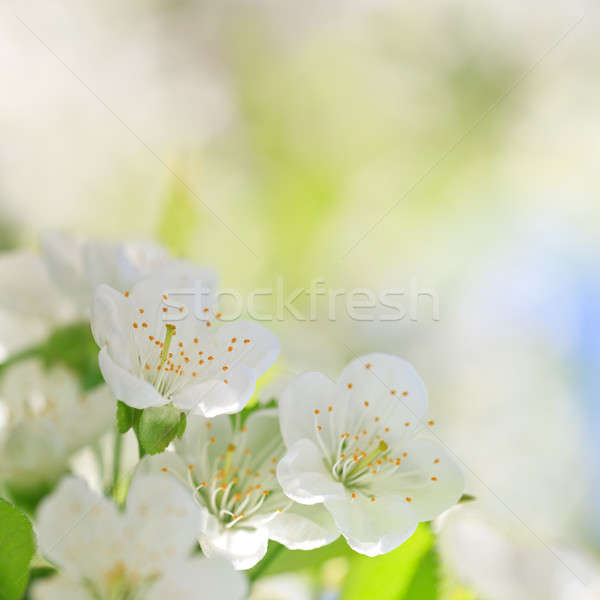Beautiful cherry blossoms with green leaves Stock photo © All32