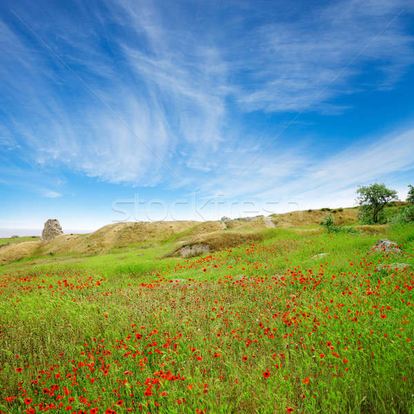 A beautiful field of poppies in a green grass under blue sky  Stock photo © All32