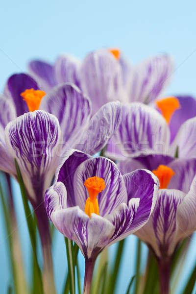 Azafrán flores azul primavera jardín planta Foto stock © All32
