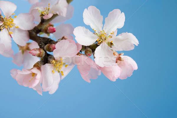 цветения миндаль филиала небе дерево весны Сток-фото © All32