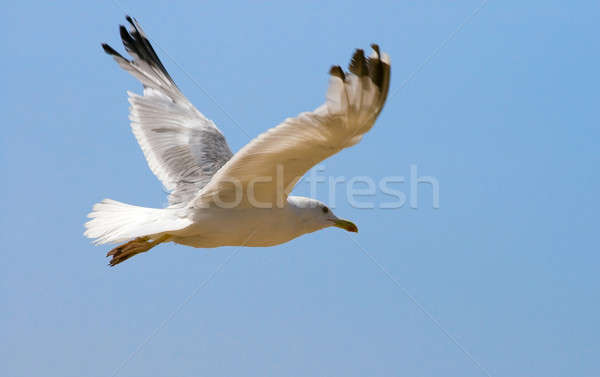 Stock photo: Seagull flying in the blue sky