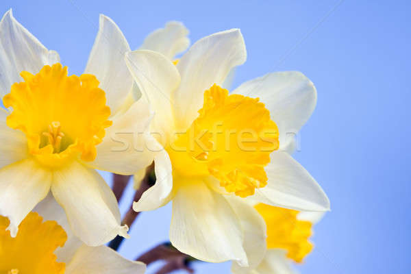 Narcissus flowers  Stock photo © All32