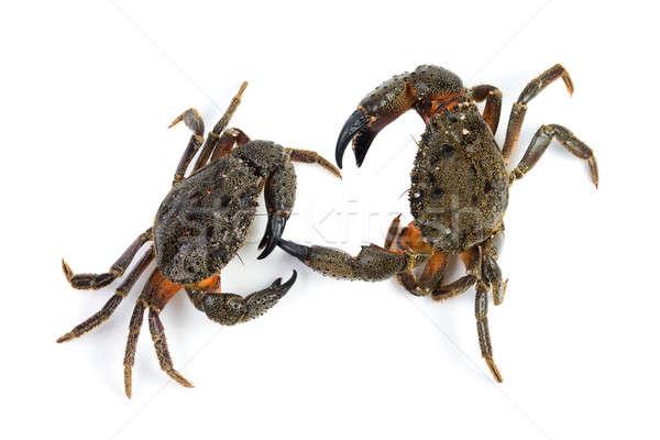 Two stone crab (Eriphia verrucosa) Stock photo © All32
