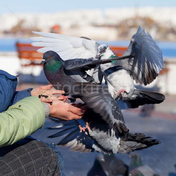 Comer grão comida pássaro pena voar Foto stock © All32