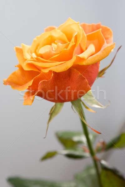 Güzel turuncu gül gri çiçek sevmek Stok fotoğraf © All32