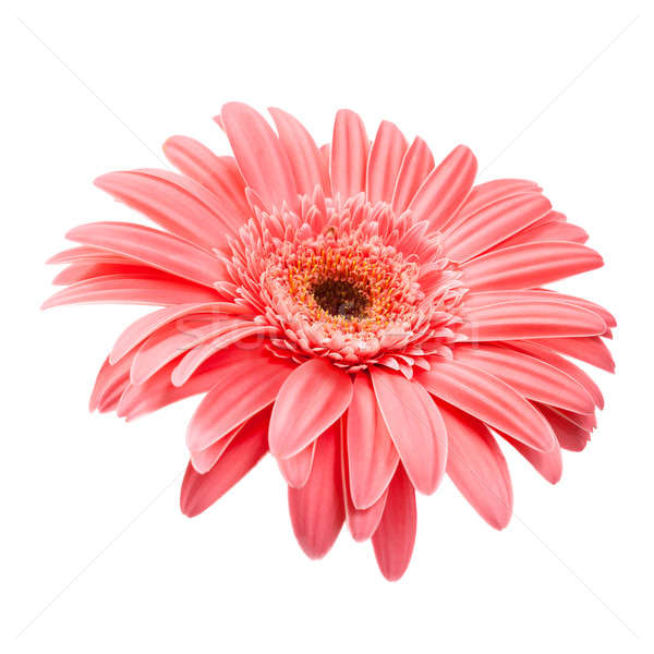 Rosa isolado branco primavera natureza Foto stock © All32