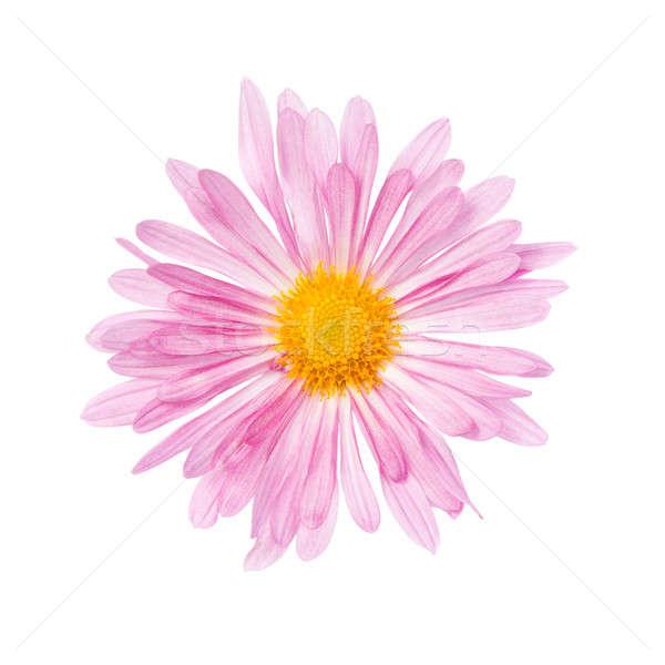 Krizantém izolált fehér virág tavasz természet Stock fotó © All32