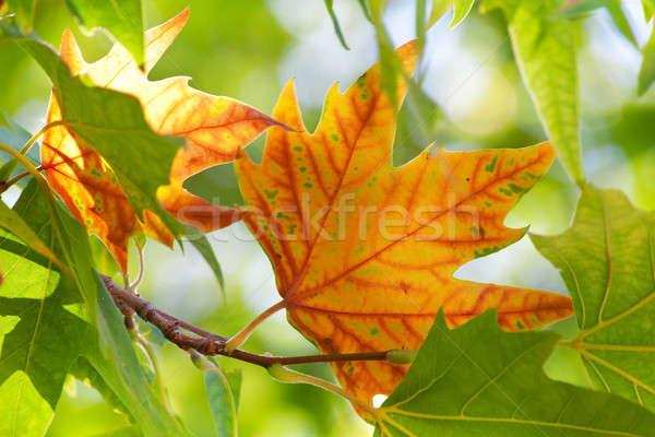 Primo autunno foglia d'acero foglie verdi albero natura Foto d'archivio © All32
