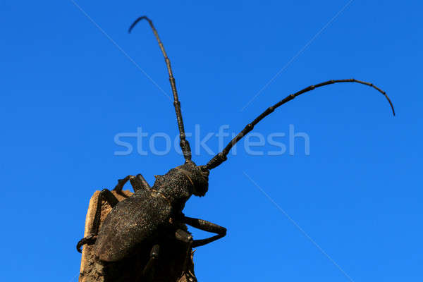 Beetle (Cerambyx cerdo) Stock photo © All32