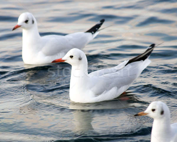 Seagull floating in sea. Stock photo © All32
