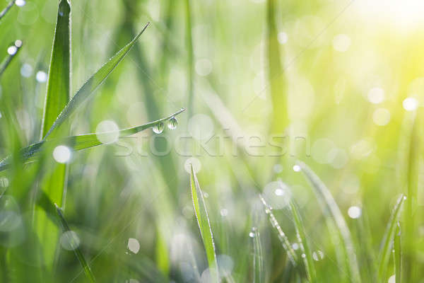 Grass covered with dew Stock photo © All32