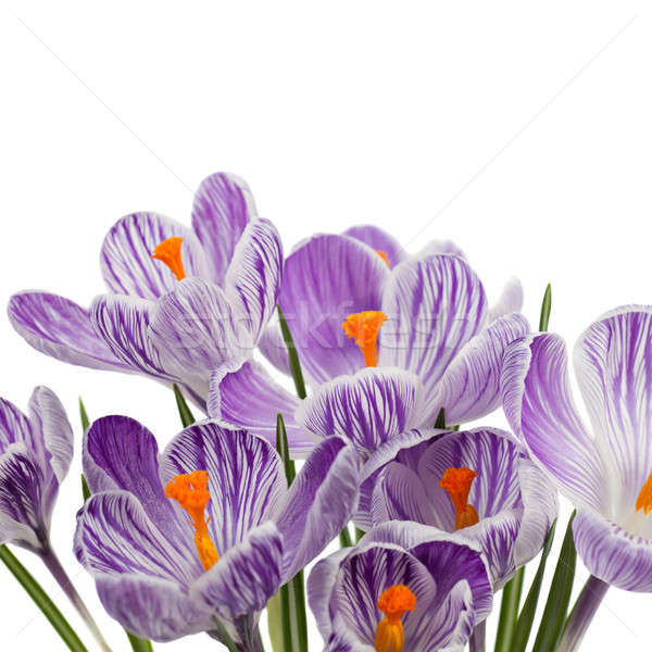 Stockfoto: Krokus · bloemen · geïsoleerd · witte · voorjaar · tuin