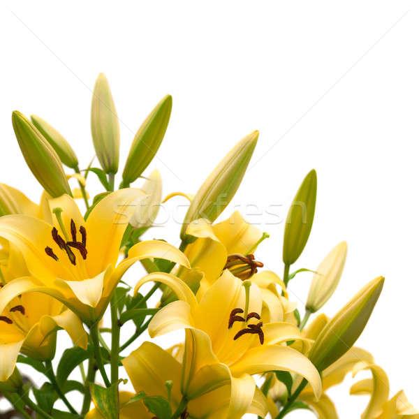 Сток-фото: желтый · Лилия · изолированный · белый · цветок · весны