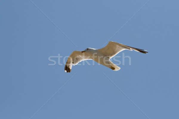 Gaviota azul naturaleza mar fondo aves Foto stock © All32
