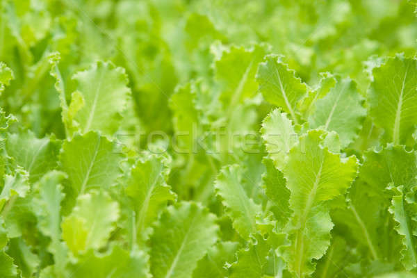 Green leaf lettuce.  Stock photo © All32