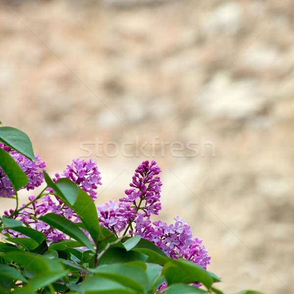 Gyönyörű ág orgona konzerv használt kert Stock fotó © All32