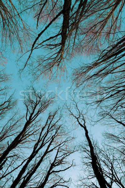 Trees stretched into the sky Stock photo © All32