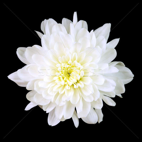 Biały chryzantema odizolowany czarny kwiat wiosną Zdjęcia stock © All32