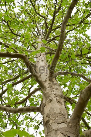 The trunk of a tree with large branches Stock photo © All32