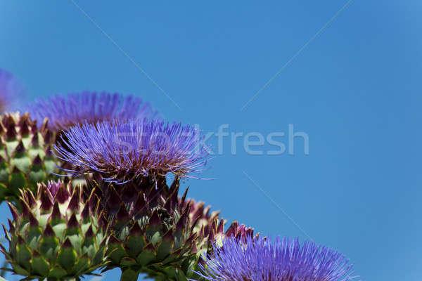 цветения лет зеленый красивой макроса Purple Сток-фото © All32