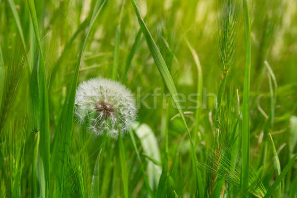 Dandelion in the green grass Stock photo © All32