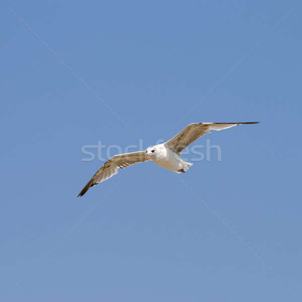 Flying seagull  Stock photo © All32