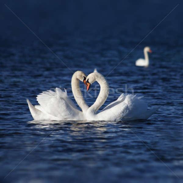 Cisne amor dois família casamento pássaro Foto stock © All32