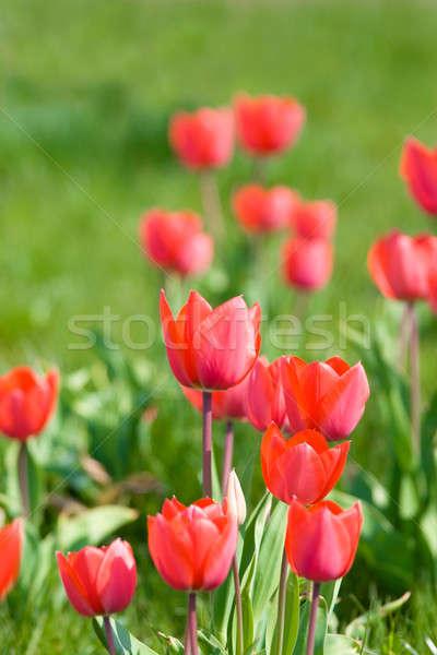 Mooie Rood tulpen groeiend Pasen Stockfoto © All32
