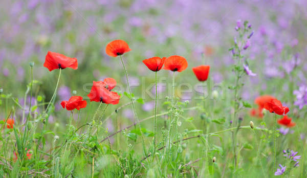 Rouge coquelicots herbe verte pourpre fleurs printemps Photo stock © All32