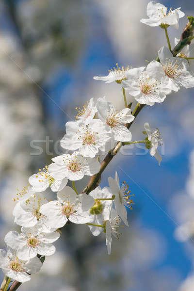 Bloei tak pruim boom bloemen voorjaar Stockfoto © All32