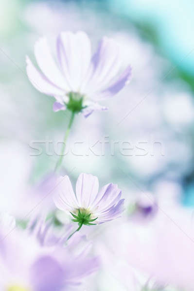 Flowers cosmos Stock photo © All32