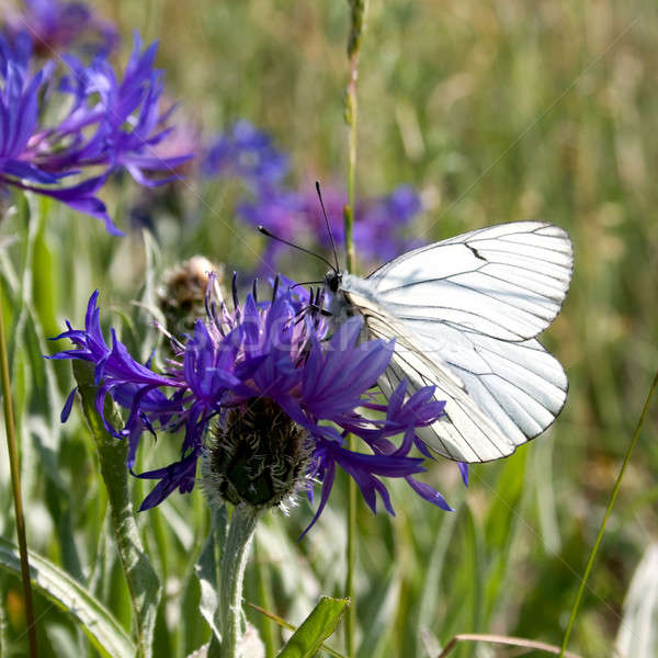бабочка синий цветок весны природы лист фон Сток-фото © All32