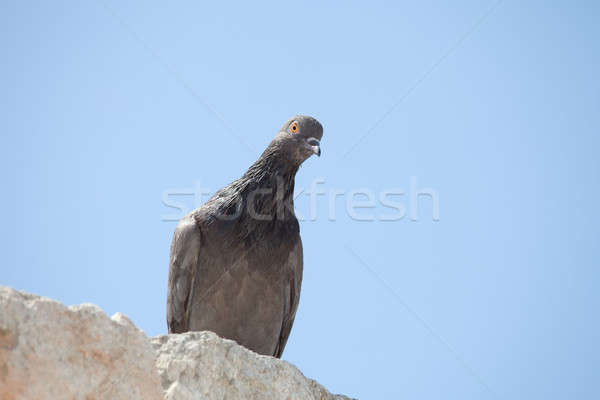The pigeon is sitting on the rock Stock photo © All32