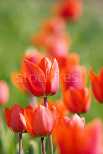 Belle rouge tulipes croissant parterre de fleurs Pâques Photo stock © All32