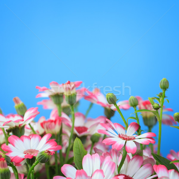 Flowers on a blue background  Stock photo © All32