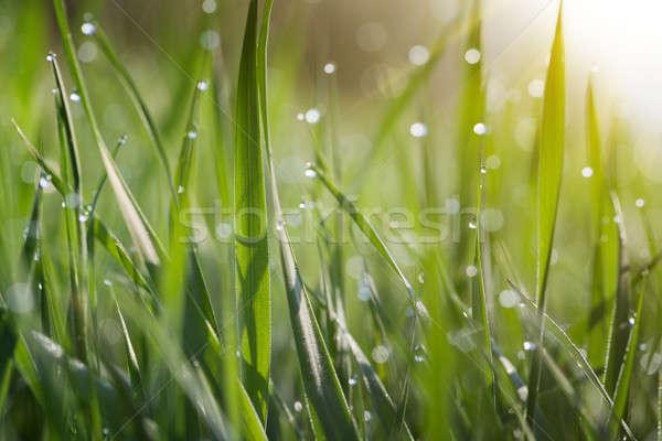 Fű fedett harmat zöld fű levél szépség Stock fotó © All32