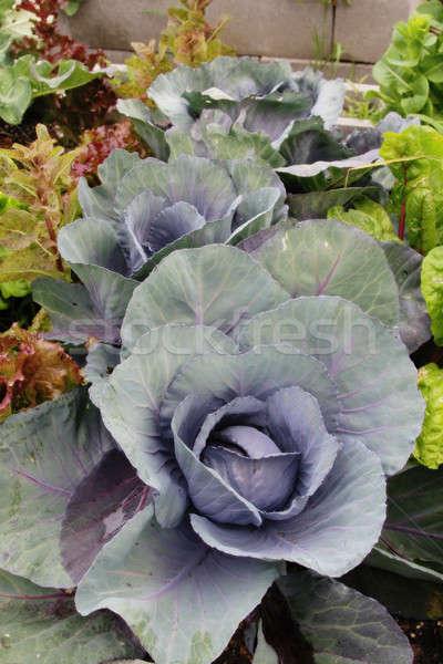 Growing Cabbage Stock photo © allihays